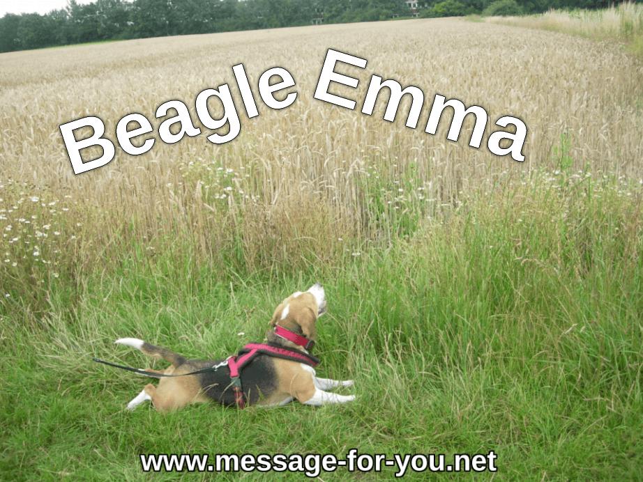 Beagle Emma Beagleseite Hundeseite