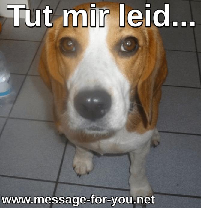 Beagle Hund Entschuldigung
