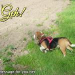 Beagle Hund Geh!