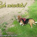 Beagle Hund Geh vorwaerts