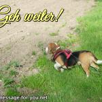 Beagle Hund Geh weiter