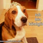 Beagle Hund Ich bin koeniglich