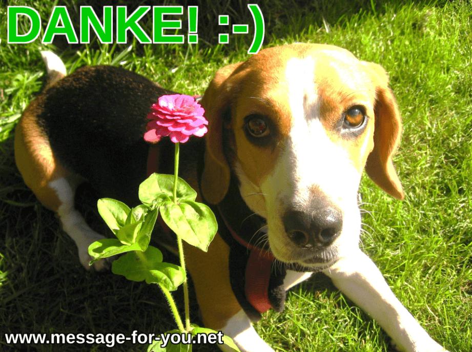Beagle Hund sagt Danke