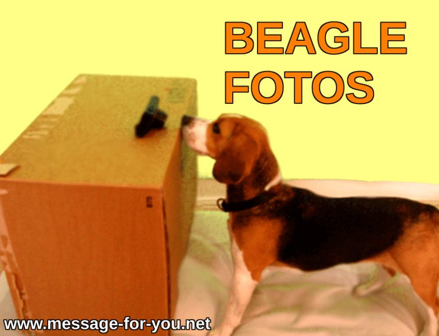 Hunde Bilder Beagle Fotos